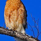 Sharp-Shinned Hawk by WolfPause