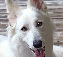 Smiling White German Shepherd Dog  by BrightSolaris
