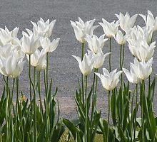 The White Tulips by Rosalie Scanlon
