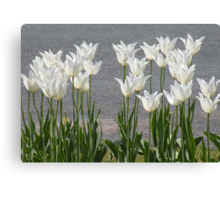 The White Tulips Canvas Print
