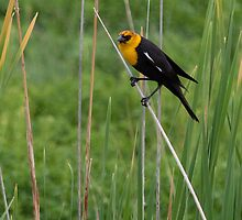 Yellow Headed Blackbird by Belle Farley