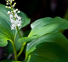False Lily of The Valley by Shawnna Taylor