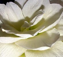 Shades of white by Antionette