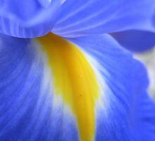 dutch iris I by Floralynne