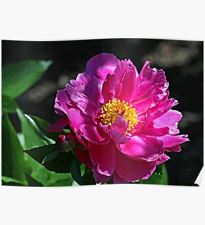 Sunny Pink Peony Poster