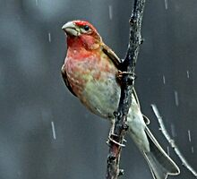Purple Finch on a Rainy Day  by Chuck Gardner