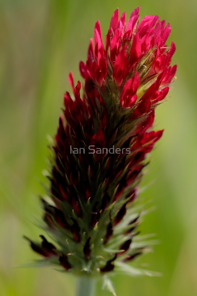 Red Clover by Ian Sanders