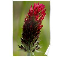 Red Clover Poster