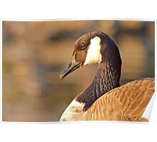 Portrait of a Canada Goose Poster