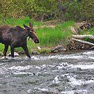 Moose Crossing by Gene Praag