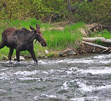 Moose Crossing by Gene Praag