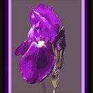 Iris I by Cathy O. Lewis