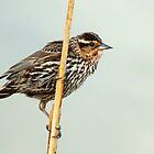 Female Redwing Blackbird on Reed by Jessica Dzupina