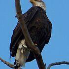 Eagle by kmeghan