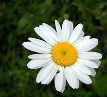 Wild Daisy at Cowan Lake by debbiedoda