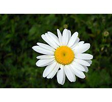 Wild Daisy at Cowan Lake Photographic Print