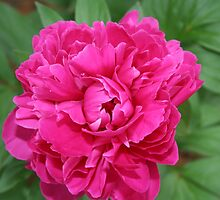 Pink Peony by DebbieCHayes