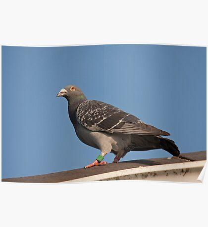 Racing pigeon Poster
