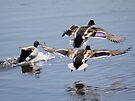 Mallards in flight by Dennis Cheeseman