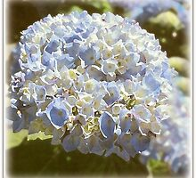 ~ Hydrangea ~ by Brenda Boisvert