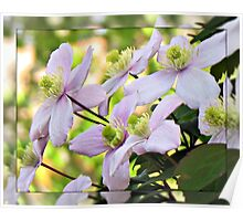 Early Morning Sunlit Clematis Poster