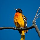 Basking Oriole by Daniel  Parent