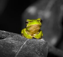 Eastern Dwarf Tree Frog - Black and White background by ConnieKerr