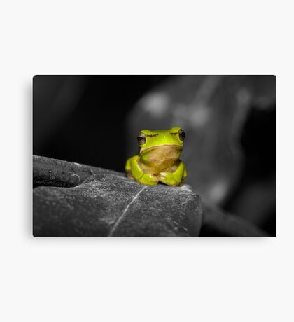 Eastern Dwarf Tree Frog - Black and White background Canvas Print