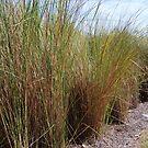 Beach Grass by JenniferJW