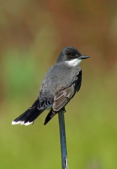 Eastern Kingbird by Michael Mill