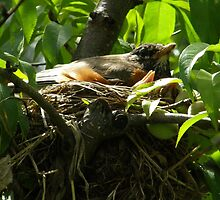 Robins of Spring by Jamaboop