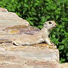 Round-tailed Ground Squirrel by Kimberly P-Chadwick