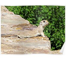 Round-tailed Ground Squirrel Poster