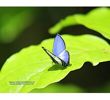 Small green banded blue Photographic Print