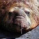 """A Face Only a Mother Could Love."" Male Southern Elephant Seal  by Carole-Anne"