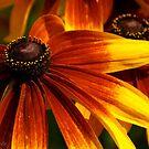 Fiery Petals by Kirstyshots