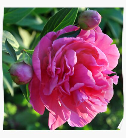 peony time Poster