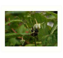 Bee On The Rasberry Flower Art Print
