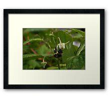 Bee On The Rasberry Flower Framed Print