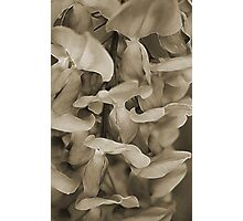 Softly in Sepia Photographic Print
