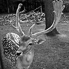 Oaklawn Deer by Scott Ruhs