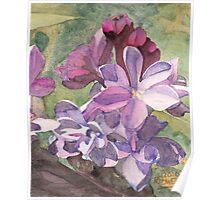 Lilac Blossom Poster