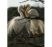 Two Egrets With Open Bills Photographic Print