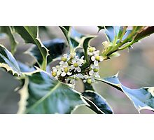 Holly in Flower Photographic Print