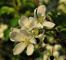 Young & Old - Blossoming & Fruit by aleksdat