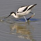 avocet advancing  by Grandalf
