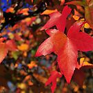 Red Autumn glo by samhicks