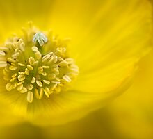 Yellow Chiffon by Mandy Disher