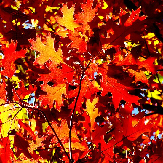 Red leaves by Paige