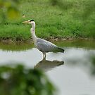 Grey Heron by Russell Couch